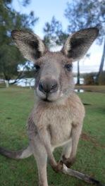 Kangaroo on Campsite