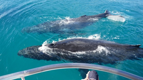 Whale Watching Hervey Bay